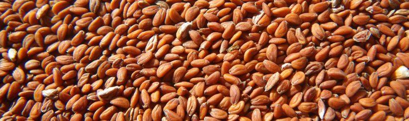 Nasiona pieprzycy (rzeżuchy)
